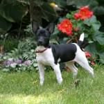 Eddy - Rat Terrier